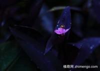 9张紫竹梅图片