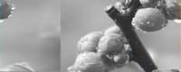 海棠花枝断裂怎么处理