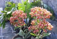 落地生根几年开花,落地生根花的寓意和花语/1-3月开花