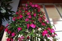 蟹爪兰到开花季了,这样养护让它开成一面瀑布