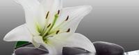 香水百合怎么种植