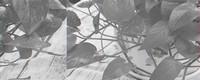 绿萝怎么养长得快茂密