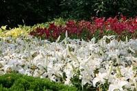 水仙百合花代表的含义,水仙百合花适合送的人群