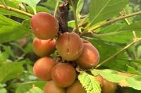 榆叶梅果实几月份成熟,可以吃吗?