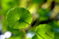铜钱草和香菇草是一种植物吗