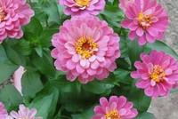 小丽花的养殖方法 小丽花开花后怎么处理
