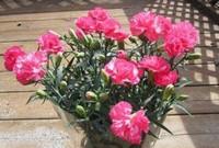 香石竹和康乃馨的区别