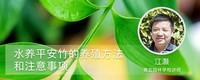 水养平安竹的养殖方法和注意事项