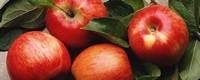 苹果成熟是什么季节