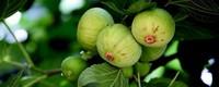 无花果的常见品种