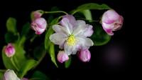 海棠花可以放室内吗