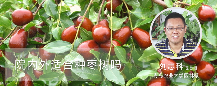 院内外适合种枣树吗