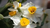 水仙开花过后种球如何保存