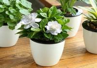 盆栽栀子花花期管理和注意事项