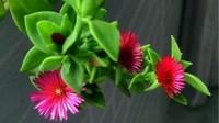 牡丹吊兰和白花紫露草的区别