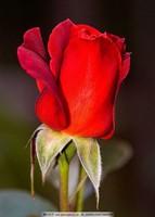 开得最美的玫瑰花图片大全
