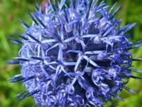 蓝刺头花语是什么?原来它还有一个这么美好的寓意!