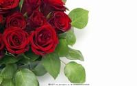 红玫瑰花图片唯美图片大全大图