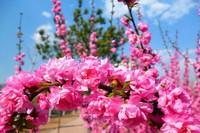 榆叶梅的四季养护方法