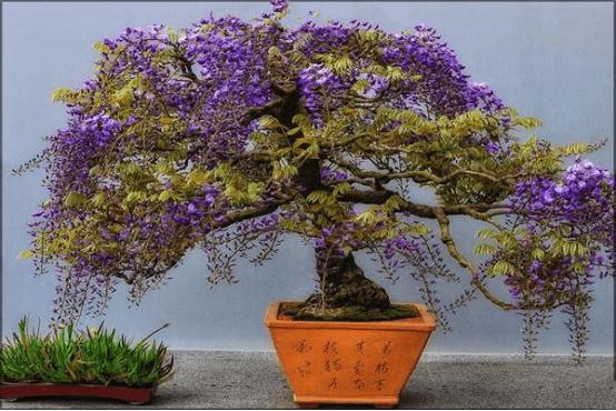 怎样种植盆栽紫藤?比比谁种的更艳