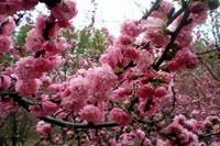 中国樱花的养殖和管理