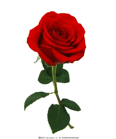 拿一支玫瑰花女人唯美图片大全