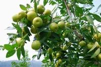 枣树的养殖方法,枣树怎么养
