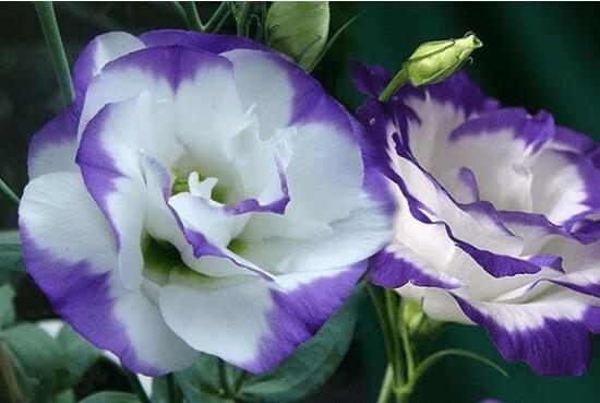 洋桔梗的花语是什么?你知道洋桔梗又有什么文化价值呢?
