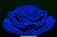 蓝玫瑰花图片唯美图片大全