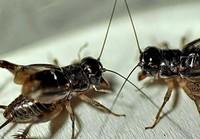 中药蟋蟀的别名,中药蟋蟀的作用是什么