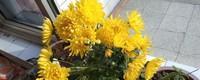 菊花的花语是什么