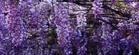 紫藤盆栽需要多大的盆(附盆栽种植方