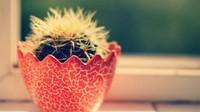 开花仙人球最常见品种