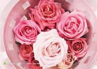 玫红玫瑰花图片