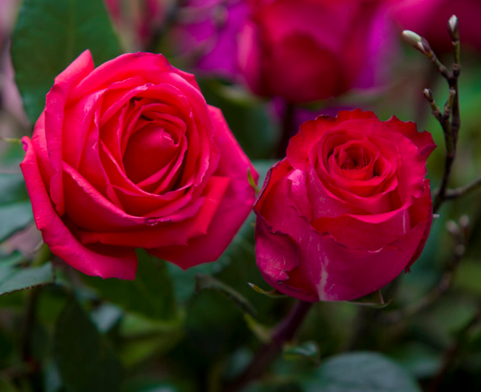 象征爱情的花有哪些?这些花赶紧送给你所爱的人吧!