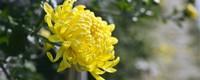 菊花的花语是什么,代表什么含义?