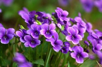 紫花地丁的传说