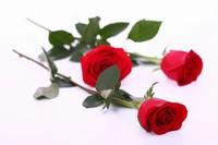 鲜红玫瑰花图片整张