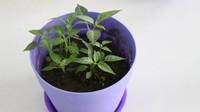五彩椒怎么种植