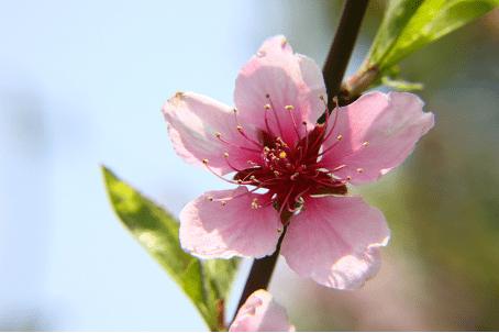 你知道摆放桃花盆景的风水禁忌吗?请