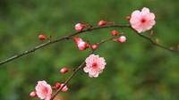 榆叶梅和美人梅的区别