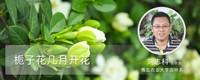栀子花几月开花,栀子花的花期是在3