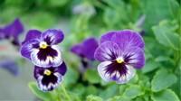 三色堇种子种植方法