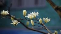 玉兰花象征着什么