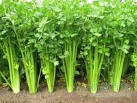 [芹菜的种植时间]芹菜什么时候播种