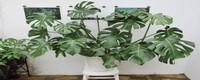 龟背竹的花语,风水作用是什么