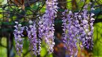 紫藤的种类有哪些