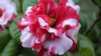 山茶花的品种有哪些