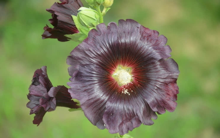 你知道蜀葵的花语是什么吗?带你认
