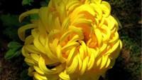 苦丁茶和菊花的区别